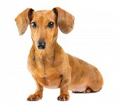 stock photo of dachshund  - Dachshund dog - JPG
