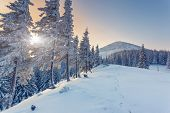 image of blue spruce  - Fantastic winter landscape - JPG