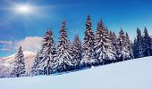 foto of blue spruce  - Fantastic winter landscape - JPG