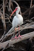 White ibis 1
