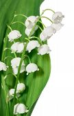 stock photo of lillies  - Spring flowers - JPG