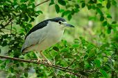 Back-crowned Night Heron
