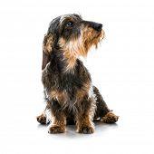 brown short hair dachshund dog on white