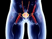 stock photo of bladder  - The Bladder - JPG