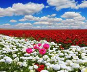 Boundless rural field with flowers. White garden buttercups are combined with bright red and pink fl