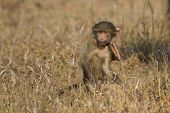 Cute Baby Baboon Sit In Brown Grass Learning About Nature What To Do