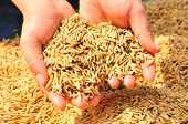 stock photo of monocots  - Rice is the seed of the monocot plants   - JPG