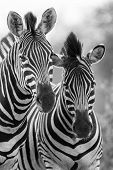 Zebra Mare And Foal Standing Close Together In Bush For Safety Artistic Concersion