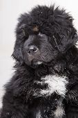 Black And White Puppy Of Tibetan Mastiff