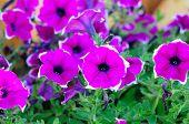 Petunia Multiflora Merlin