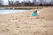 image of frisbee  - French bulldog running on the beach with frisbee - JPG