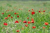 Red Poppies On The Meadow