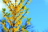 Forsythia In Bloom