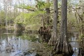 Постер, плакат: Cypress Trees On Swamp Slough Preserve