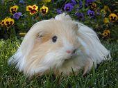 Blonde Silky Guinea Pig
