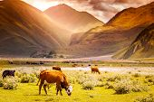 Herd Of Cows Grazing On A Background Of Mountain And Sunset