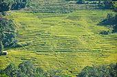 Rice Terrace In Pelling, Sikkim