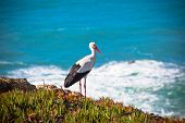 Stork On A Cliff At Western Coast Of Portugal