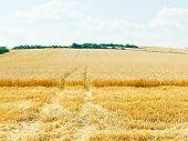 Ripe Wheat Field In Caucasus Region