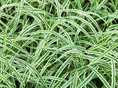 Natural Background From Wet Green Leaves Of Carex