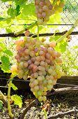 Cluster Of Pink Grape On Vine