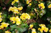 Yellow Big Begonias