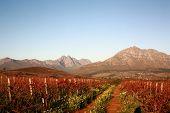 Autumn vineyard landscape