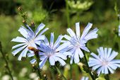 Blue Flowers Of Cichorium