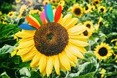 Sunflower Closeup. Fun & Happiness Concept