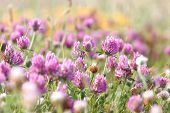 image of red clover  - Flowering beautiful red clover in meadow  - JPG