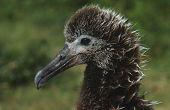 Profile of Laysan Albatross ( Phoebastria immutabilis) nesting