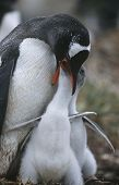 UK, Falkland Islands, Gentoo Penguin feeding chicks