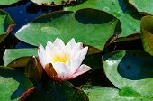 Waterlily blooming on the pond