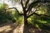 Backlit Oak Tree In Morning
