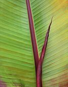 Red leafed banana leaf with addition