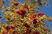 stock photo of mountain-ash  - The fruit of mountain ash tree in the blue sky - JPG