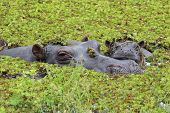 Mother And Baby Hippo In The Okavango Delta Of Botswana.