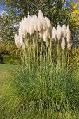 stock photo of pampa  - Pampas Grass In The Garden In Autumn - JPG