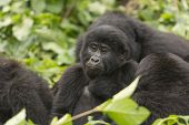 Young Mountain Gorilla In A Family Group