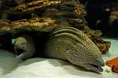 picture of hydra  - Ugly poison fish Laced moray  - JPG