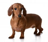 miniature smooth dachshund standing on white background