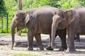 stock photo of indian elephant  - Indian Elephants walking in the Zoo - JPG