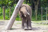 stock photo of indian elephant  - Indian Elephant child in the zoo  - JPG