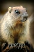 image of groundhog day  - Marmot otherwise known as a ground squirrel or ground hog - JPG