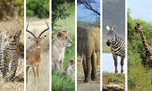 picture of african animals  - Collage with six photo with african animals - JPG