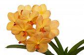 Bright yelloww flowers of an orchid vanda