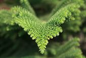 picture of conifers  - Araucaria excelsa. Exotic evergreen conifer in Turkey. ** Note: Shallow depth of field - JPG