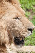 image of sub-saharan  - Lion lying down in grassland looking out ahead of him with mouth slightly open - JPG