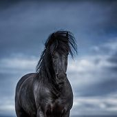 Portrait Of A Frisian Horse