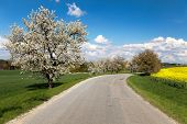Road And Alley Of Flowering Cherry-trees